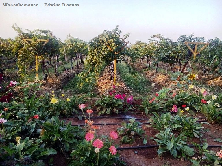 Sula Vineyards Tour Nashik (10)